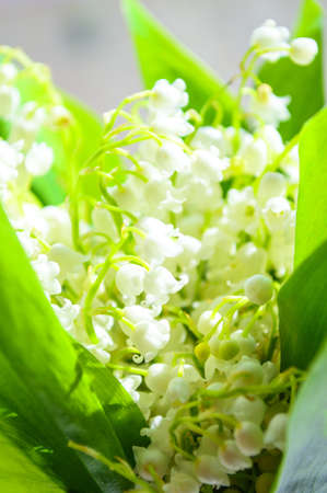 Bunch of Lily of the Valley against gray background  Convallaria Majalis - Spring flowers photo