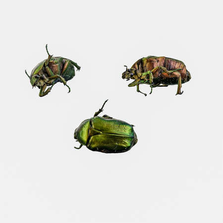 Photo collage of Cetonia Aurata in three different positions on a white background. Cetonia aurata, called the green rose chafer, is a beetle. It's found in Europe and South East Asia Stock Photo