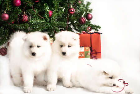 Three beautiful white puppy playing under the Christmas tree