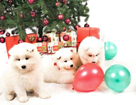 Three beautiful white Siberian Samoyed puppy playing under the Christmas tree