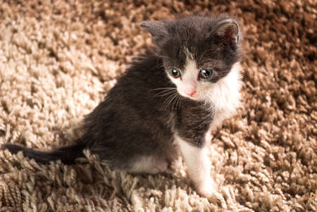 Baby gray white cat sitting on carpet in the house Stock Photo