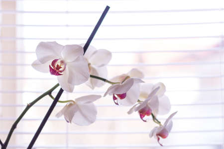 Phalaenopsis orchid white and pink flower in front of venetian blinds on window at home. Macro image with shallow depth of focus. Beautiful flower concept. Close up, selective focus Reklamní fotografie