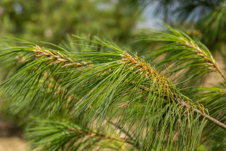 Close up of blurred green branches and pine trees needles in nature. Natural abstract background and concept. Close up, selective focus