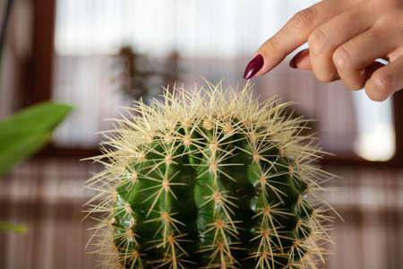 Kobieta palec dotyka kaktusa w doniczce w domu. Dziewczyna ręka z manicure w kolorze wina. Zbliżenie, selektywne skupienie Zdjęcie Seryjne