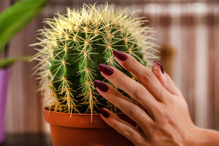 Female hand touches the cactus in flower pot in the house. Girl hand with wine color manicure. Close up, selective focus