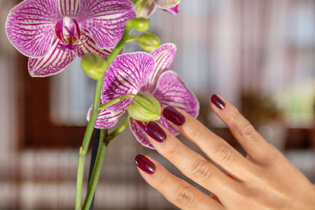 Woman hand with wine color nails polish and purple orchid flower and blurred background. Manicure and beauty concept. Close up, selective focus