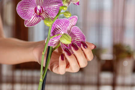 Female hand with wine color nails polish and purple orchid flower and blurred background. Manicure and beauty concept. Close up, selective focus
