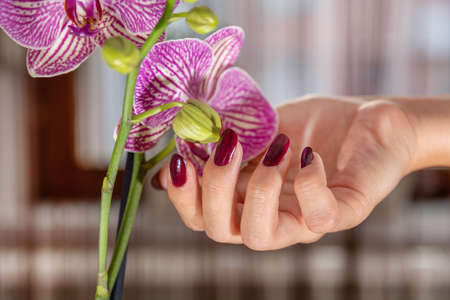 Girl hand with wine color nails polish and purple orchid flower and blurred background. Manicure and beauty concept. Close up, selective focus