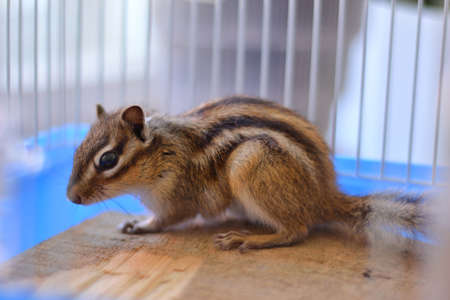 Young curious Siberian chipmunk or Siberian squirrel (Eutamias sibiricus) in a cage at home. Animal and pet at home concept 版權商用圖片