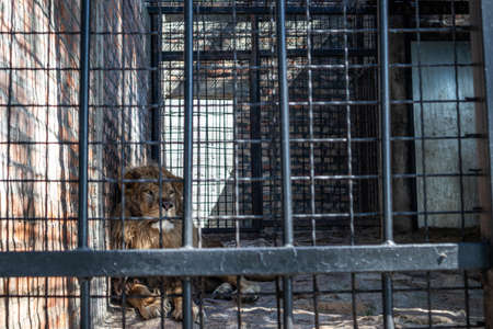 The lion rests in the shade of the cage behind bars on a hot summer day in zoo park of Jagodina, Serbia