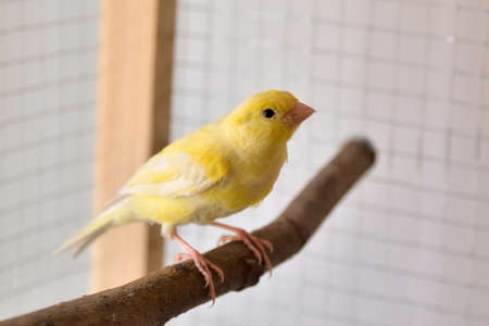 A young yellow male canary on bird perch stands in the cage at home. Cute Slavujar canary breed