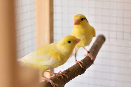 Two young yellow canaries on bird perch stand in the cage at home. Cute Slavujar canaries breed Stock Photo