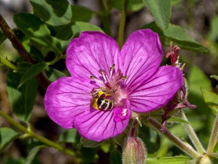 Abeja ayuda a pollenate silvestre púrpura