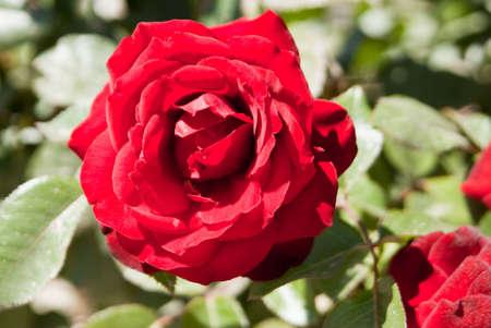 Soft velvet red rose Stok Fotoğraf