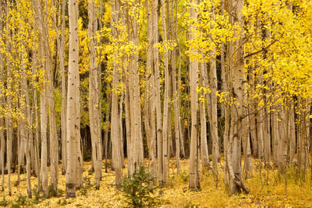 Stand of golden aspens in Ouray Colorado