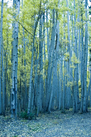 Stand of turning aspen in mountains of Colorado Stock Photo - 10827041