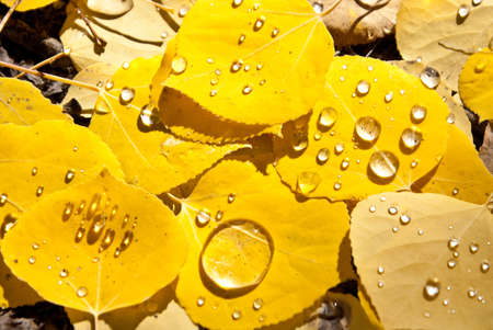 Aspen leaves with water drops in Fall Colorado photo