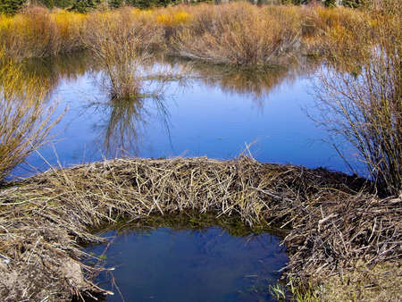 Beaver Dam on river in Grand Teton National Park, USA photo