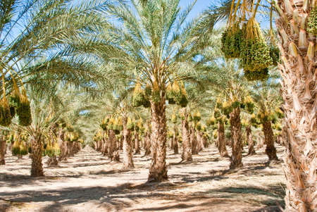 Ripened California Date Palm Orchard in sunshine Stock Photo - 14877905