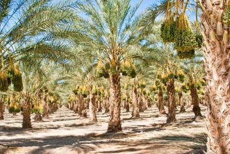 Ripened California Date Palm Orchard in sunshine Stock Photo - 14877905