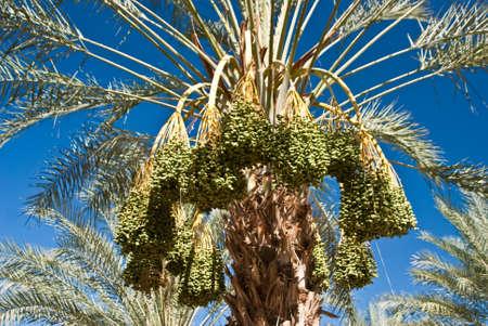 Masses of ripe dates in California USA Stock Photo - 14877902