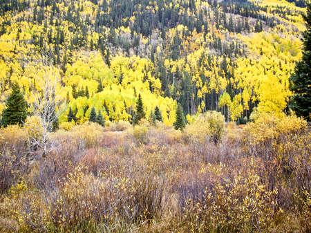Colorado aspens and evergreens in Autumn photo