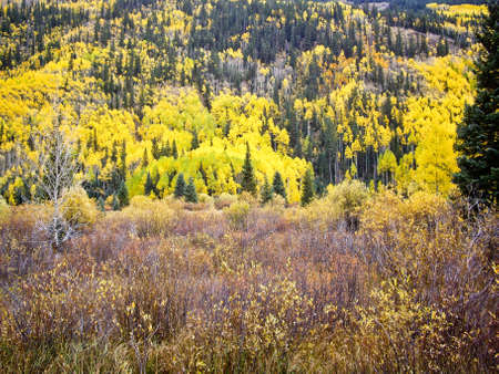 Aspens glow yellow on a hillside in Colorado high country USA photo