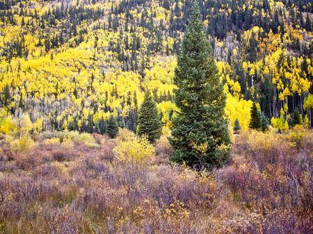 Bright yellow aspens in Fall Colorado USA photo
