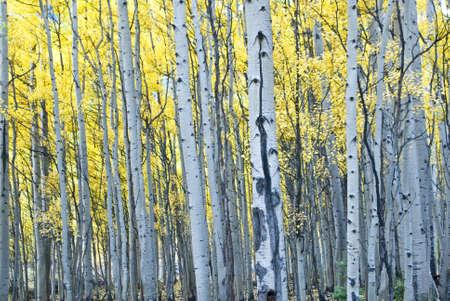 Aspens glow in Fall colors Colorado, USA Standard-Bild