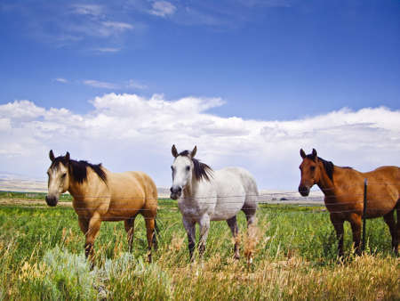 Three horses of different color captive in same field Stock Photo - 15988583