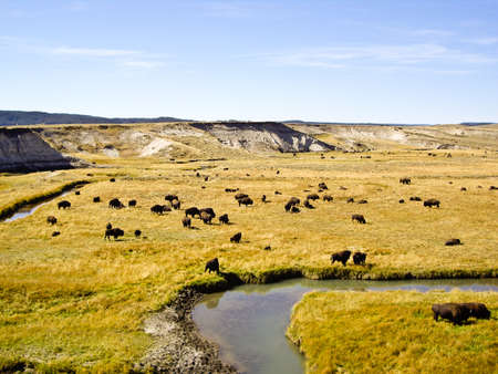 oxbow bend: Buffalo graze at Oxbow Bend in wilderness Stock Photo
