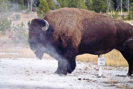 meant: Bison know that signs were not meant for them Stock Photo