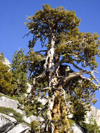 bristlecone: Ancient Bristlecone tree in Yosemite National Park Stock Photo