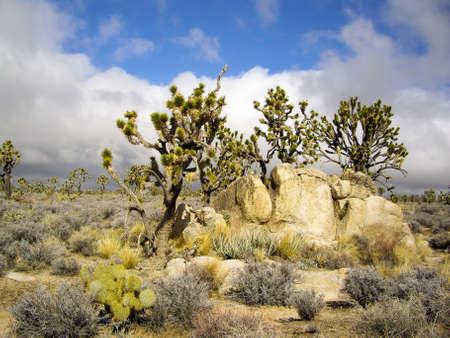 Joshua trees in stromy desert Reklamní fotografie