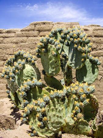 adobe wall: Fioritura cactus sul vecchio muro di mattoni Archivio Fotografico