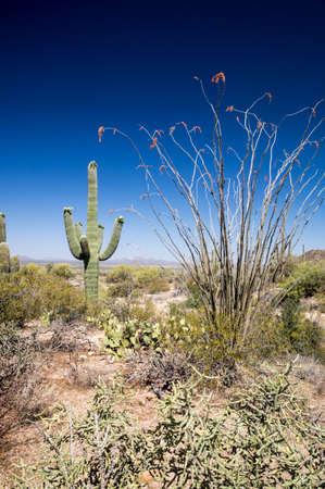 ocotillo: Saguaro and Ocotillo on desert landscape