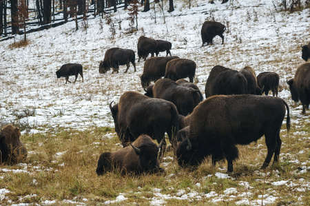 Bison grazing in Yellowstone Winter photo