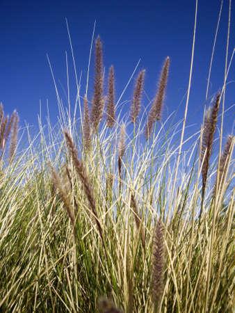 Desert grasses against blue sky