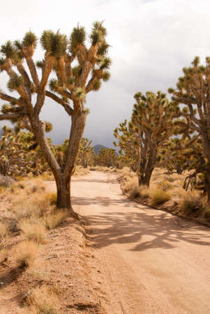 desert storm: Bosque de �rboles de Josu� en tormenta del desierto