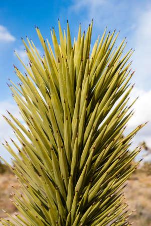 nevada: Yucca in Nevada desert Stock Photo