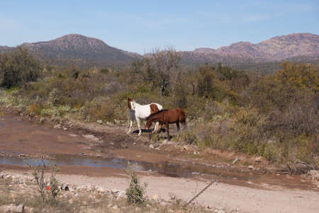 sonora: Two wild horses in coastal Sonora Desert Mexico Stock Photo