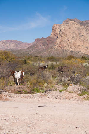 sonora: Wild horses in Mountain desert of Sonora Mexico Stock Photo