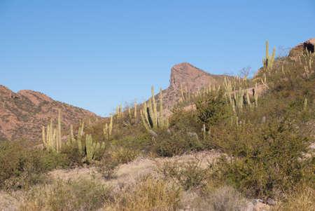 sonora: Organ-pipe Cactus of Sonora Desert Mexico Stock Photo