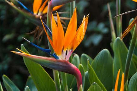 botanical gardens: Bird of Paradise at botanical gardens Guadalajara Mexico