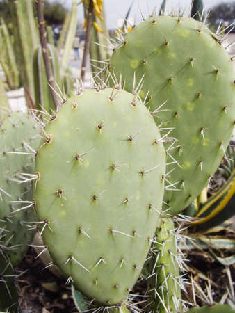 with spines: Desert cactus with spines Stock Photo