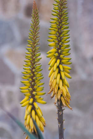 Tall yellow flowers grow near stone wall stock photo picture and stock photo tall yellow flowers grow near stone wall mightylinksfo