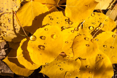 Rain droplets on Aspen leaves in Fall photo