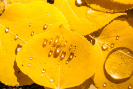 Rain droplets on aspen leaves in Colorado photo
