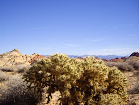 cholla cactus: Colorful rock and cholla cactus in Valley of Fire