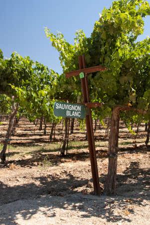 sauvignon blanc: Grapes in vineyard in California